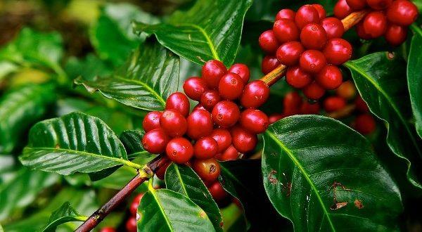 coffee cultivation in Darjeeling