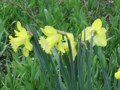 pistachio daffodils