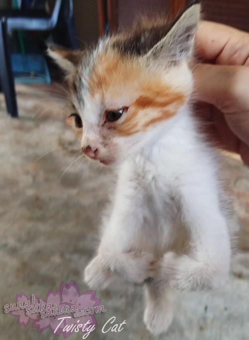 Twisty Cats - Radial Hypoplasia (RH)