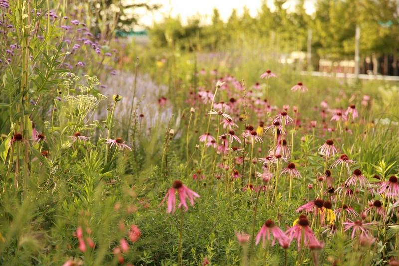Jardin de estilo naturalista con echinacea purpurea