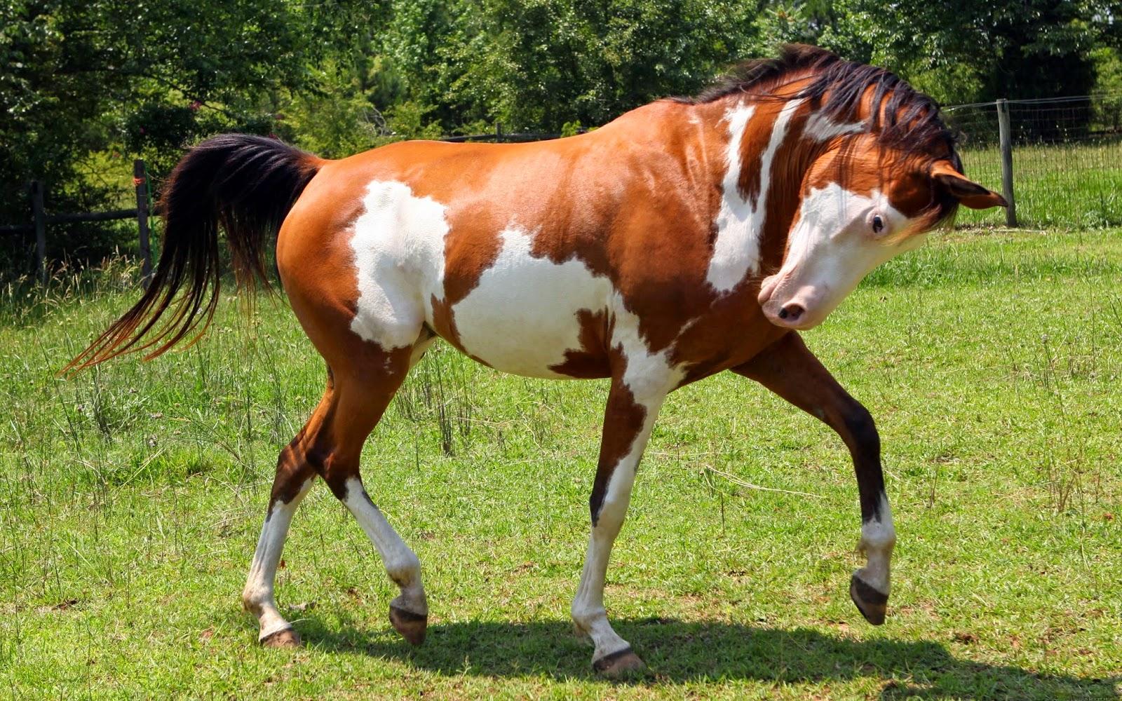 Wallpaper met wit bruin gevlekt paard