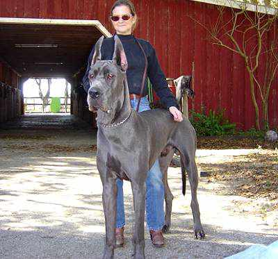 How to Breeds Great Dane Dog