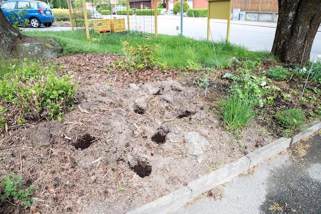 Jag fann en ny växtplats till kålen i rabattdelen av trädgården.