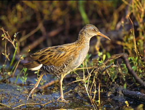 Birds of India - Western Water Rail - Rallus aquaticus