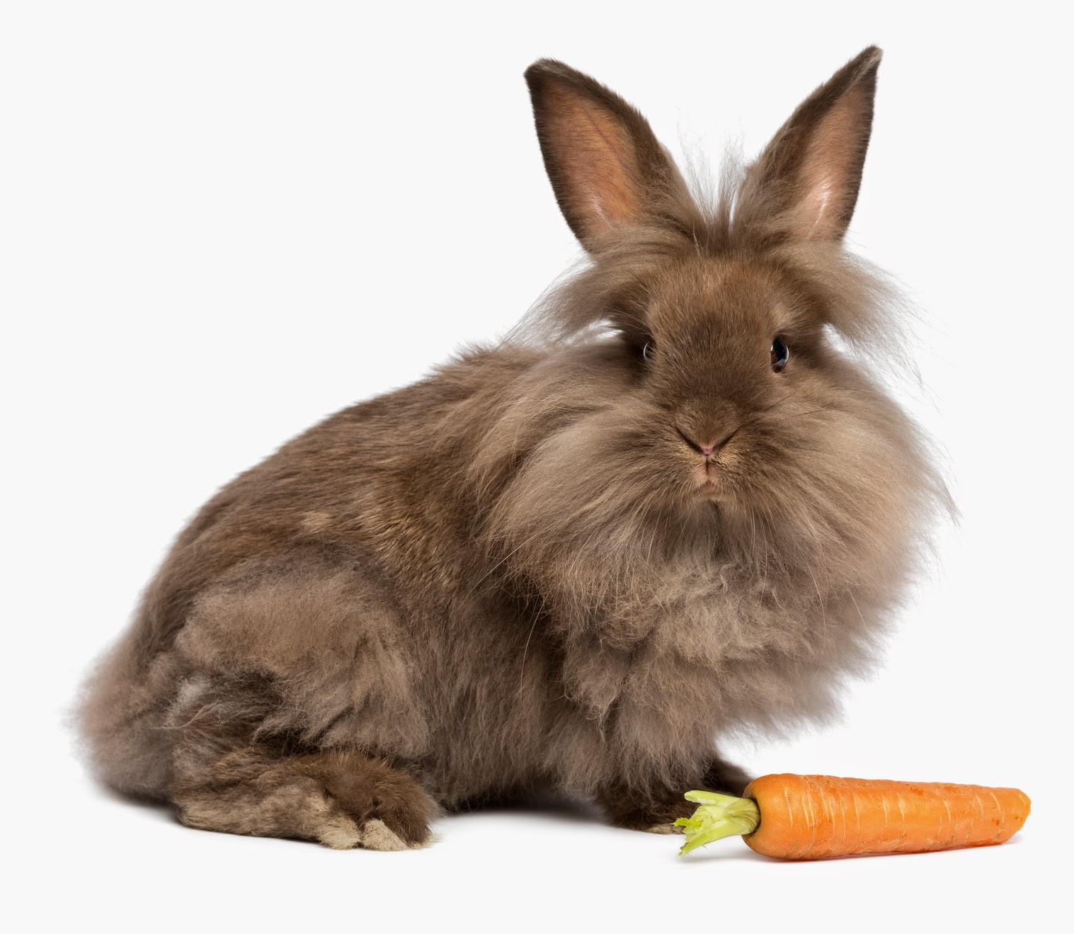 5 Unique Rabbit Breeds for International Rabbit Day ...