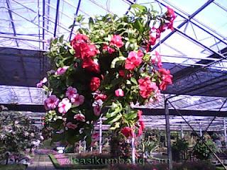 Menyaksikan Kecantikan Bunga Petunia di Taman Bunga Nusantara