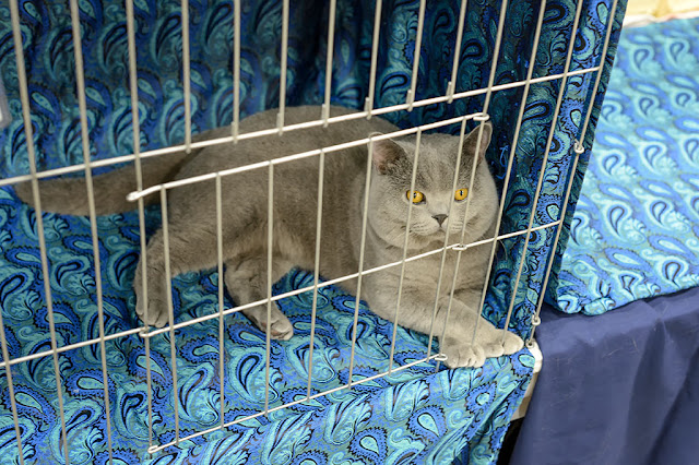 British Shorthair at the National Capital Cat Show