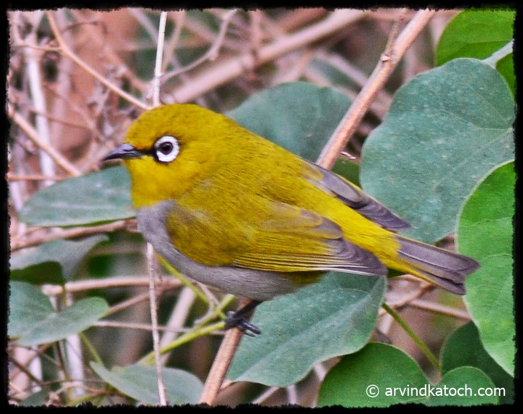 Close up, Oriental White-eye