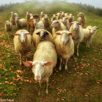 Con Cừu là số mấy & mơ thấy đàn cừu đánh đề số mấy?