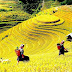 Watching beautiful terraced rice fields in Northern Vietnam during the harvest season