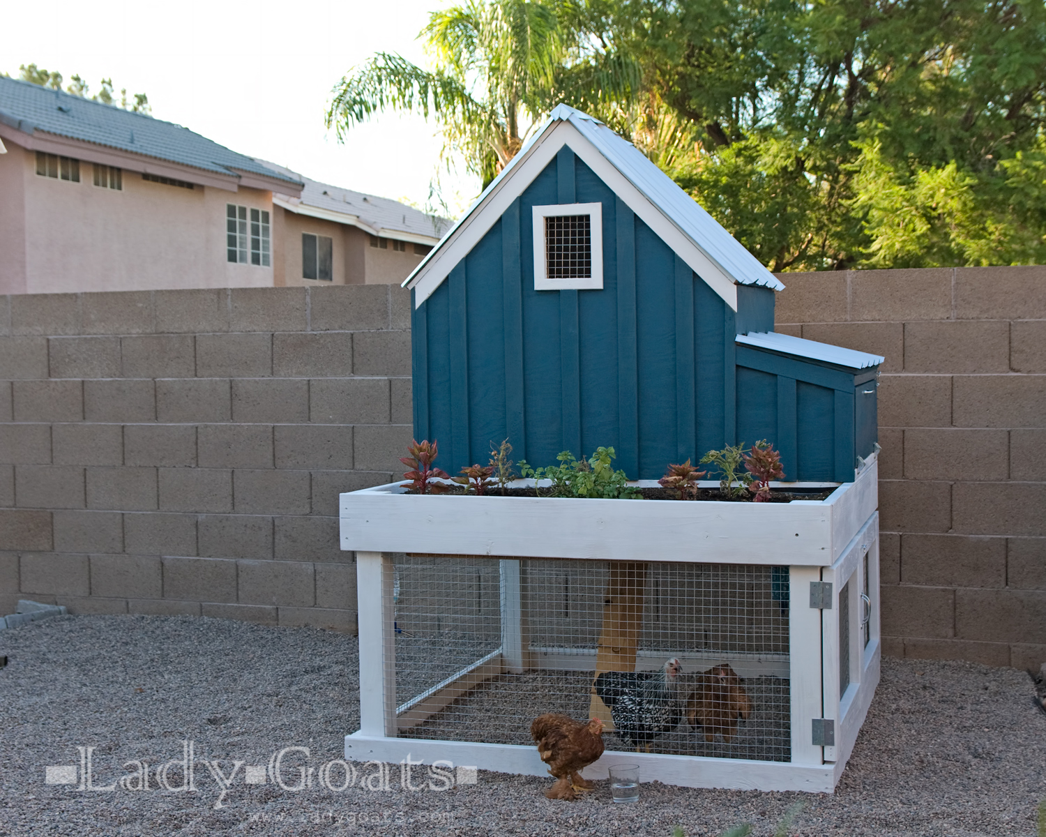 lady goats building a chicken house