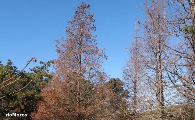 Ciprés de los pantanos con hojas secas Taxodium distichum