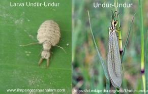 Ciri Khusus Larva Undur-Undur/Tembukur dan Fungsinya serta Manfaatnya Bagi Kesehatan