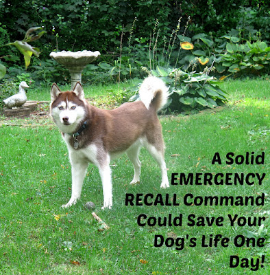 Teach your dog a solid Emergency Recall command. It could save your dog's life some day. #dogtraining  Dog training tip.  Puppy training tips.