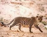 التعرف على النمر العربى المتوحش بالصور والفديو Arabian leopard