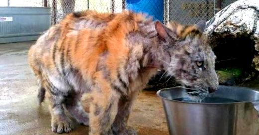 Rescatan a tigre en condición deplorables, ¡mira cómo se ve!
