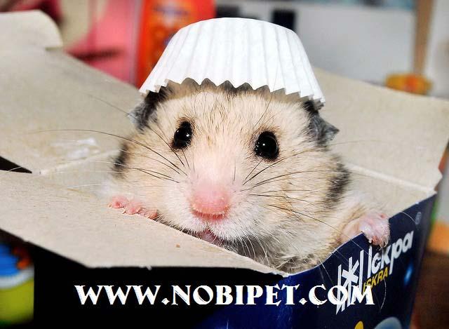 cac-dong-chuot-canh-hamster-dang-ban-tai-nobipet-shop-da-nang-2
