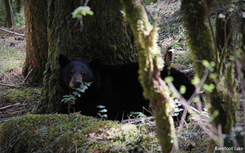 black bear awake