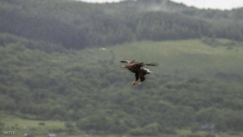 ظهور-أكبر-طائر-جارح-بريطانيا-لأول-مرة-240-عاما