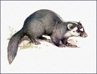 Small-toothed Ferret Badger