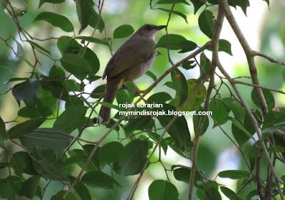 Olive Winged Bulbul in Dairy Nature Farm Park