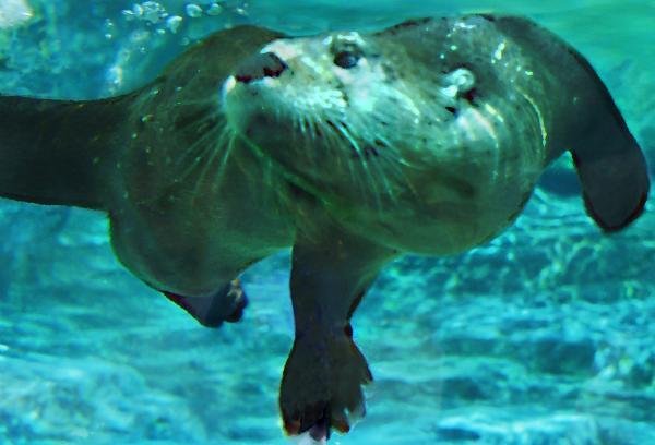 The River Whisperer: Northern river otter