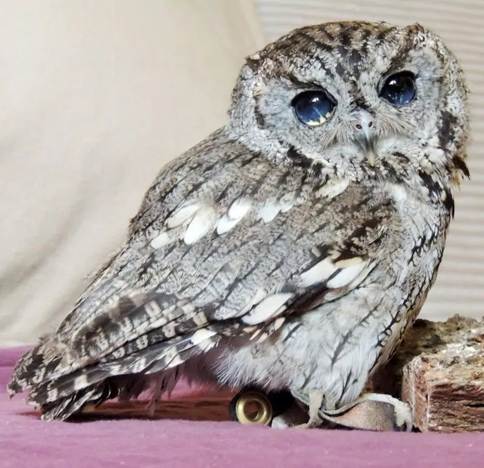 Meet Zeus, The Blind Little Owl With Galaxies In His Eyes Who Is Rescued And Now Lives At The Wildlife Learning Center In San Fernando Valley, California