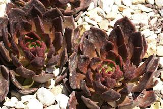 Echeveria affinis 'Prince Noir'