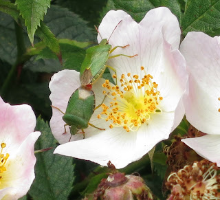 Green Shield Bugs (Palomena prasina) mating on a pink dog-rose flower with yellow stamens.