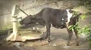 Cows, cattle, cruelty to animals