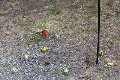 goldfinches, cardinal, junco and ???