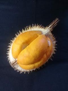 buah papakin dari kalimantan