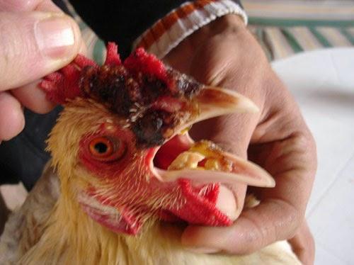 أعراض أنفلونزا الطيور على الدجاج
