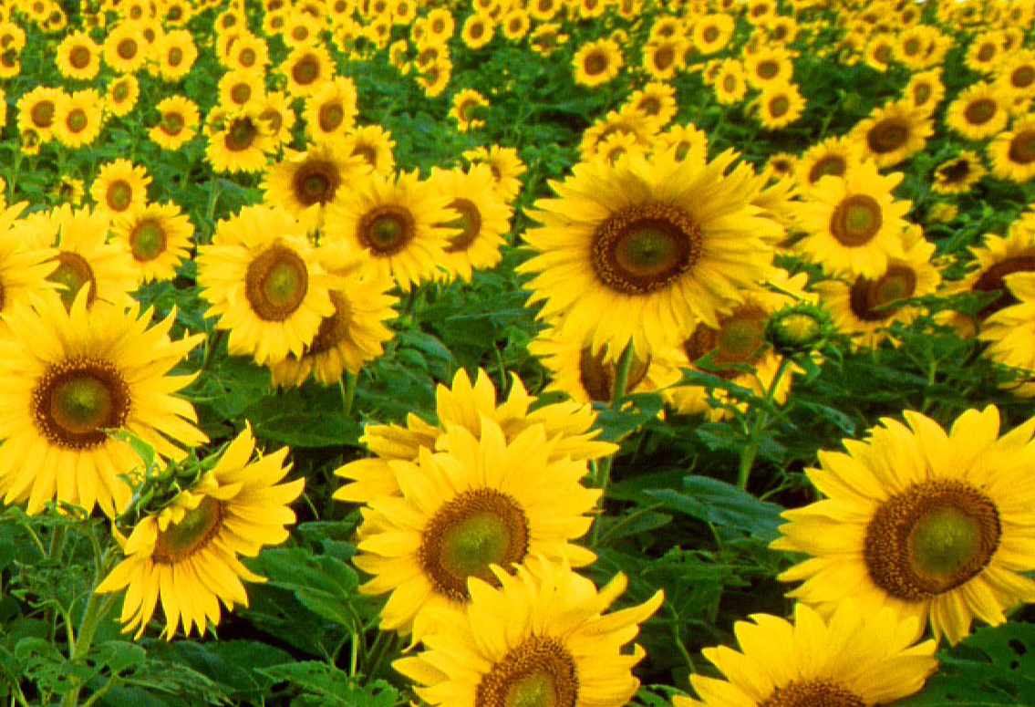 Sun flower - Free Stock Photos