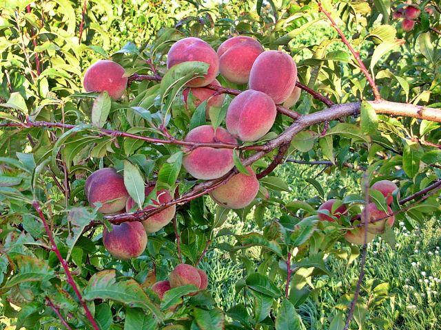 drzewa, sad, owoce, lato