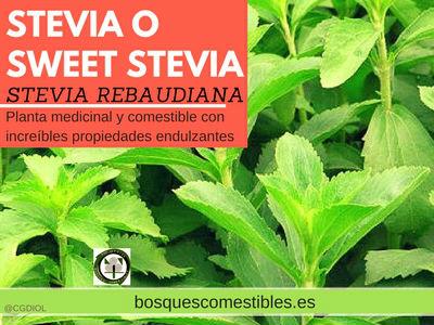 La Stevia rebaudiana es una planta medicinal y comestible, usada endulzante natural