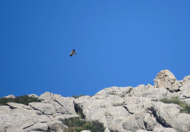 Booted Eagle - Boquer Valley, Mallorca