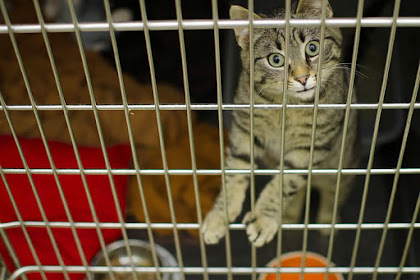 4 info penting tentang steril kucing betina lengkap