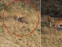 Detik-detik Seorang Pria Diseret Harimau Sampai Tewas
