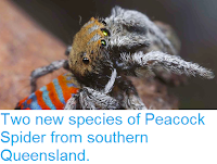 http://sciencythoughts.blogspot.co.uk/2015/03/two-new-species-of-peacock-spider-from.html
