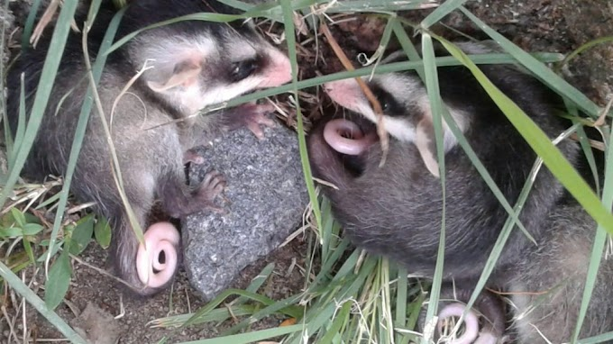 Não confunda timbu com rato, que é marsupial e semeador