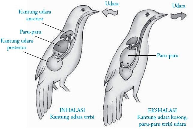 Sistem Pernapasan Pada Burung Aves