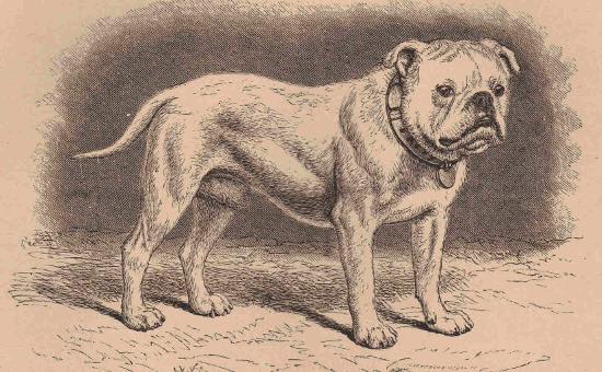 English Bulldog Sir Antony from Dalziel's British Dogs by Wood (1889)