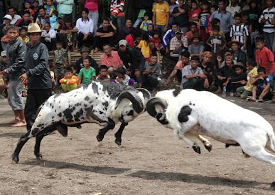 Adu domba garut tradisi populer dari garut