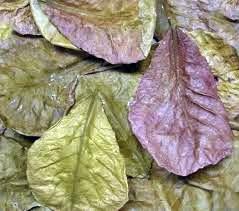 daun ketapang