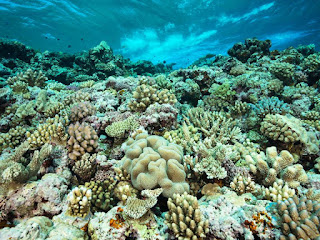 coral reef, corals