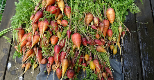 Short fat coloured carrots take 2