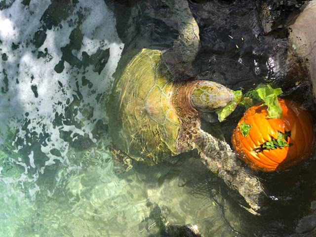 turtle eats pumpkin on Coral World