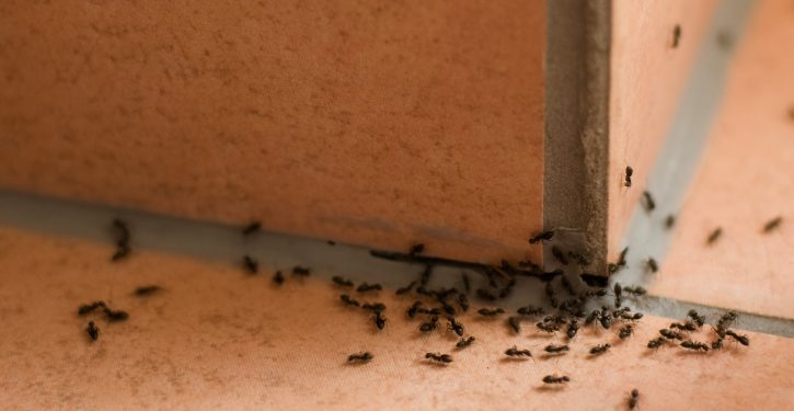 Thanks To This Powerful Tip, I Do Not Have Any More Ants At Home!