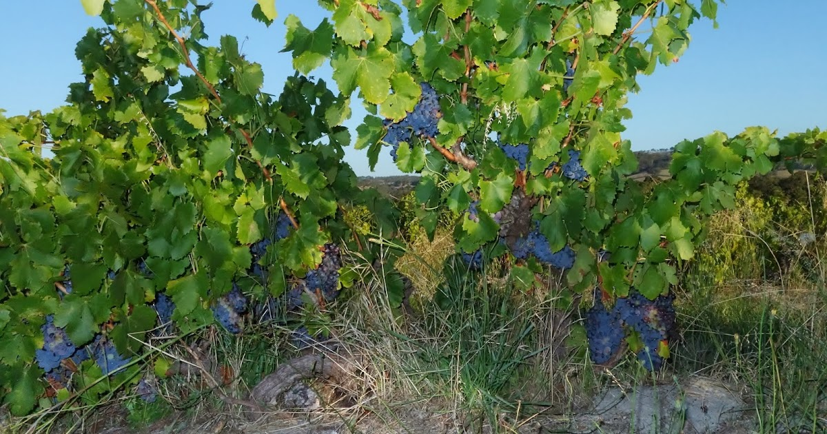Truly great old-vine Grenache for Pinot Noir lovers